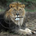 Canned Lion Hunting in Africa