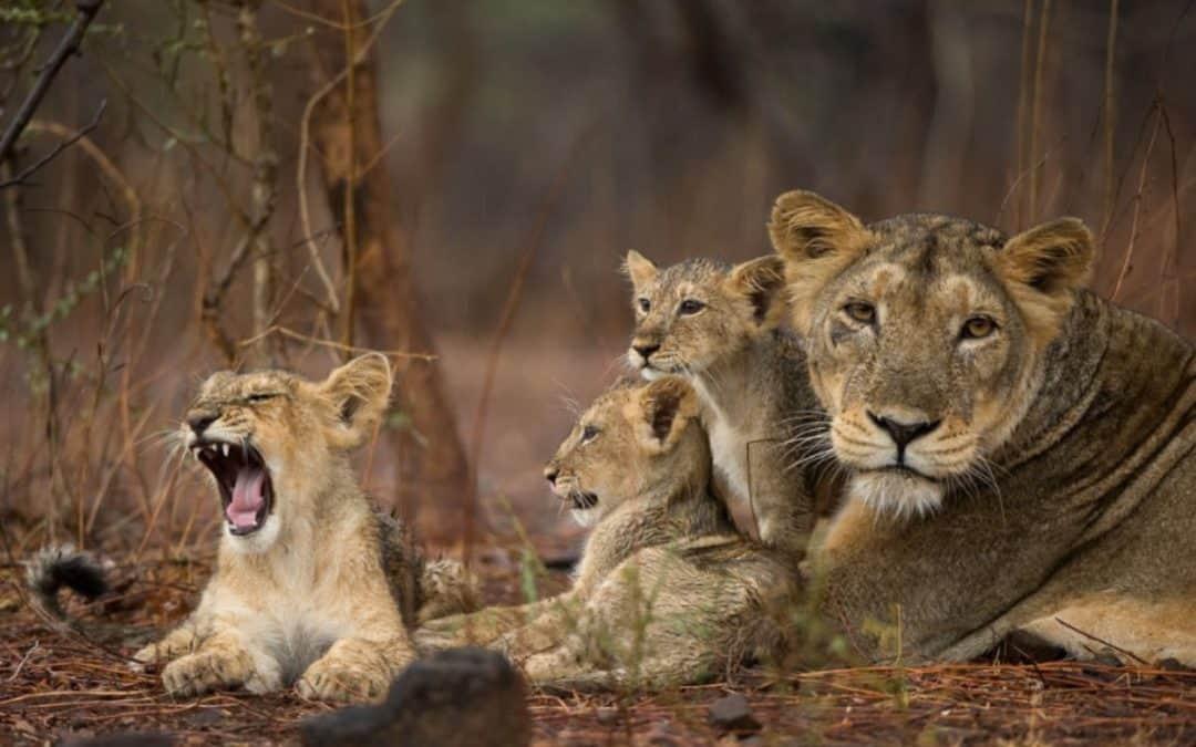 Lion Diseases