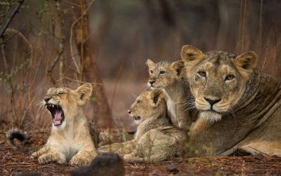 Diseases Impacting Lion Populations