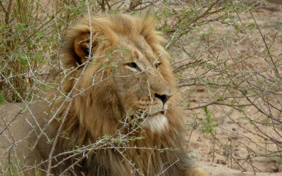 Ex Situ Lion Conservation