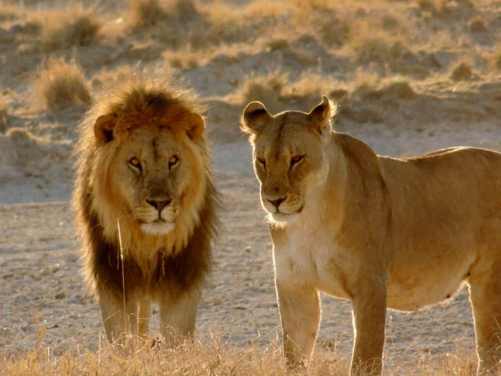 Let's look at Lions - Learn about the African Lion | ALERTLion ALERT