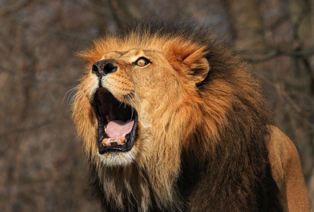 How do lions communicate