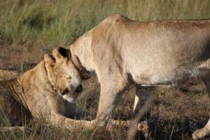 Lion Communication