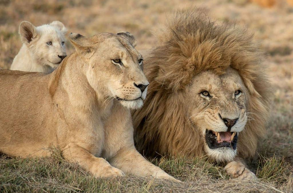 Meet the Lion Family