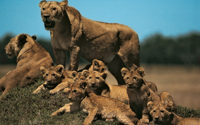 Lion Reproduction & Offspring