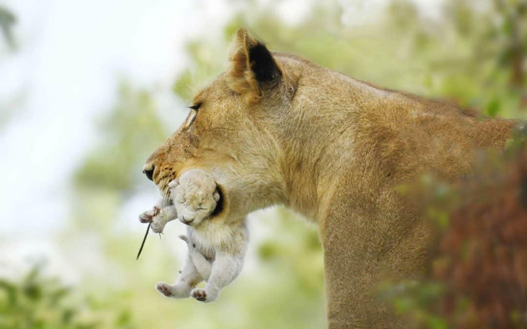 Inbreeding in Lions