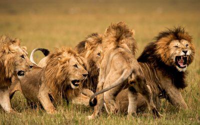 Lion Behaviour