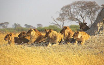 Lion Genetics