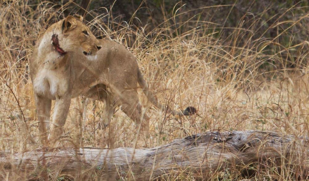 Endemic Diseases Lions