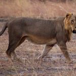 Lion Ecology