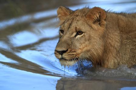 Stage One Lion in Water