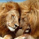 The Ecological Role of Lions