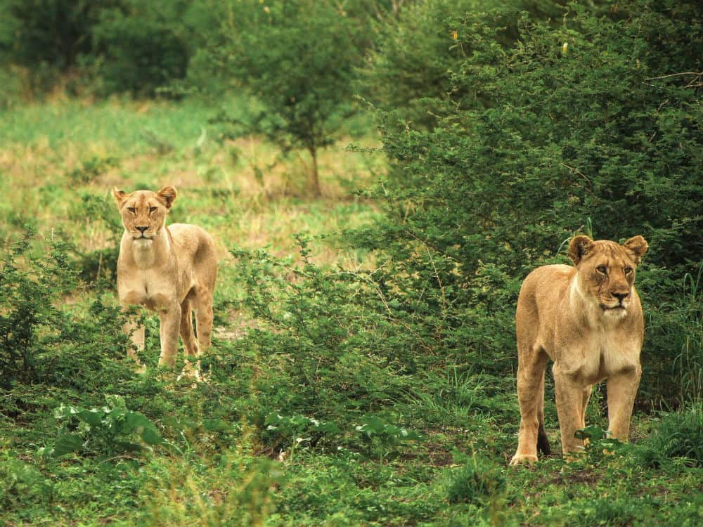 Two Lionesses in the wild