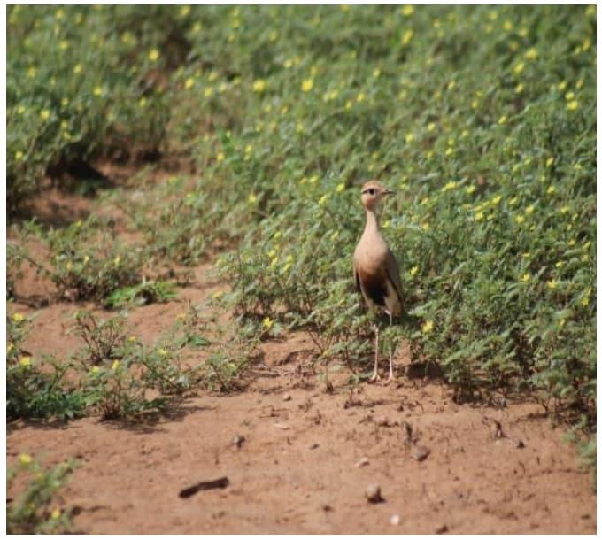 Temminck's courser sighted along Zambezi drive