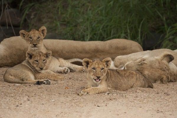 Lion Cub Images 1