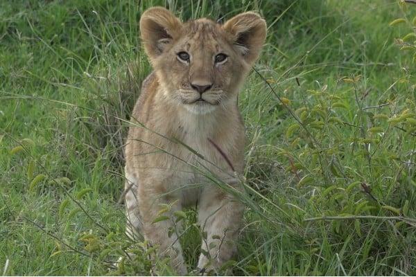 Lion Cub Images 10