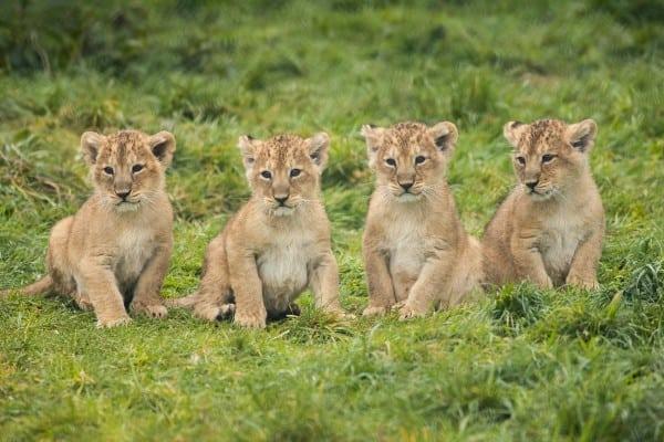 Lion Cub Images 2