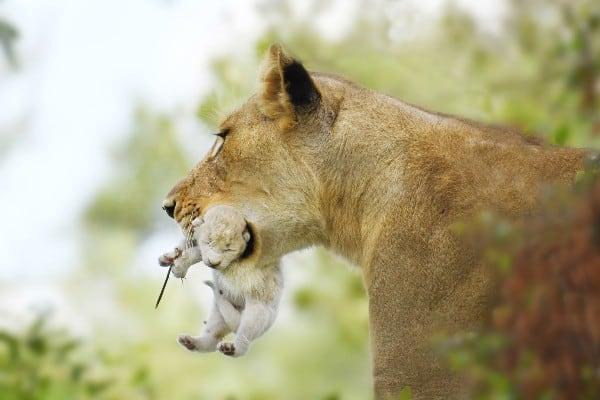 Lion Cub Images 3