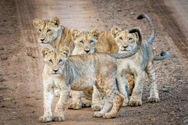 Lion Cub Images 4