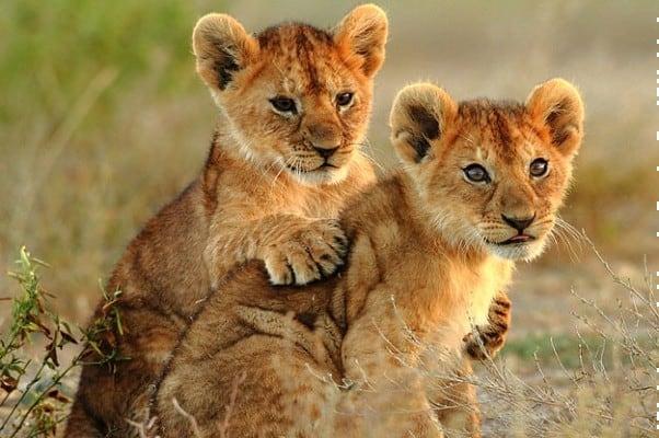 Lion Cub Images 5