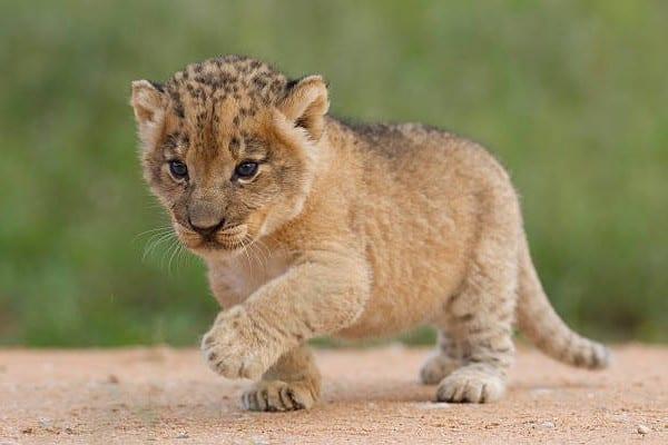 Lion Cub Images 6