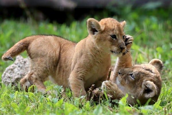 Lion Cub Images 7