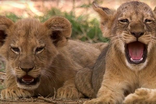 Lion Cub Images 8