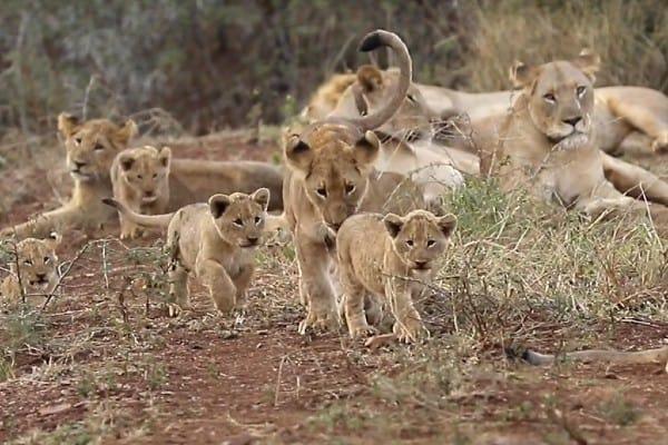 Lion Cub Images 9